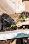 Fotografie částečný pohled samice zemědělce krmení černé ovce do trávy na farmě