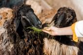 Fotografie Oříznout obrázek ženské farmář krmí ovce do trávy na farmě