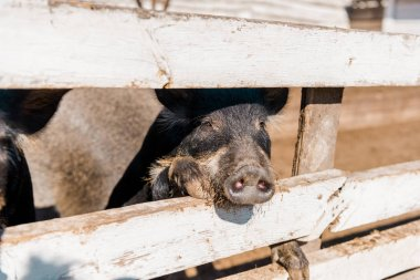 selective focus of piglet standing near wooden fence at farm