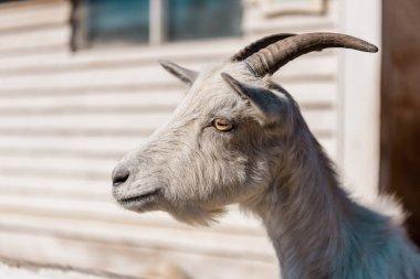 close up portrait of beautiful goat grazing at farm