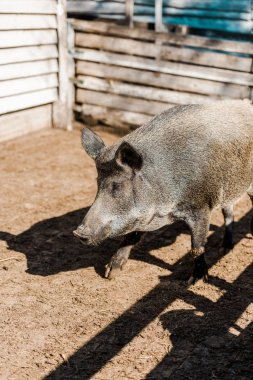 Selective focus of grey pig walking in corral at farm stock vector