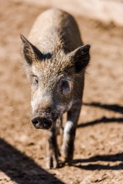 selective focus of adorable grey piglet walking in corral at farm