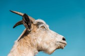 Photo low angle view of adorable goat against blue sky