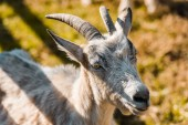 Photo selective focus of adorable goat grazing outdoors