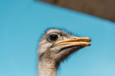selective focus of beautiful ostrich against blue sky