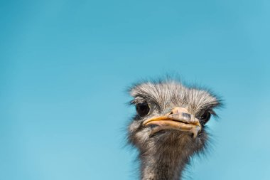 close up portrait of beautiful ostrich against blue sky