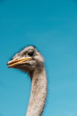 portrait of beautiful ostrich against blue sky