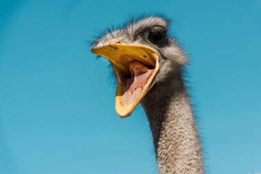 beautiful ostrich with open beak against blue sky