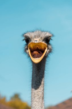 Selective focus of beautiful ostrich with open beak against blue sky stock vector