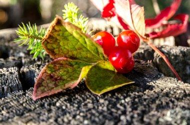 Vaccinium praestans. Sakhalin berry capable of lowering blood pressure. klopovka
