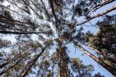 Fotografia vista inferiore di alberi di pino con cielo blu in foresta