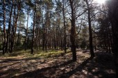 Fotografie view of forest with sun flare between pine trees