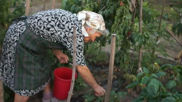 Přírodní cukrovinky. Babička je sklizeň rajčat. Zdravé výživy ekologického zemědělství