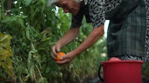 Organic farming. Farmers harvest tomatoes by hand. Healthy nutrition, agriculture growing vegetables