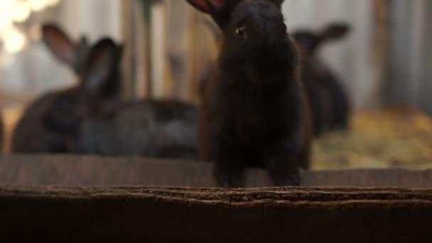 Schwarze Kaninchen aus nächster Nähe in der Scheune. Zucht kaninchen in Gefangenschaft, Kaninchenfarm, Landwirtschaft