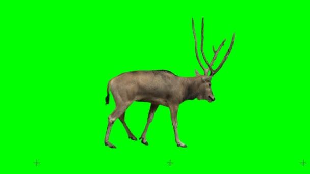 David szarvas lassan gyalog zökkenőmentesen végtelenített zöld képernyő, igazi lövés, izolált chroma kulcs, tökéletes digitális összetétele, mozi, 3D feltérképezése.