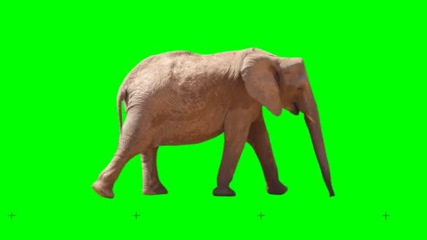 Africký slon pomalu kráčel hladce na zelené obrazovce, skutečný záběr, izolovaný s chromovým klíčem, ideální pro digitální složení, kino, 3D mapování.