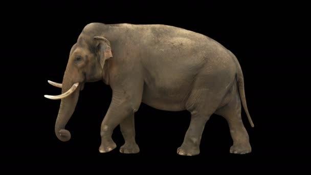 Indický slon pomalu kráčel plynule na zelené obrazovce, skutečný záběr, izolovaný s chromovým klíčem, ideální pro digitální složení, kino, 3D mapování