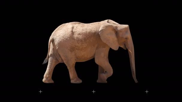 Africký slon pomalu kráčel hladce na černé obrazovce, skutečný záběr, izolovaný na alfa kanálu předem vynásobený černou a bílou matnou, ideální pro digitální složení, kino, prostorové mapování