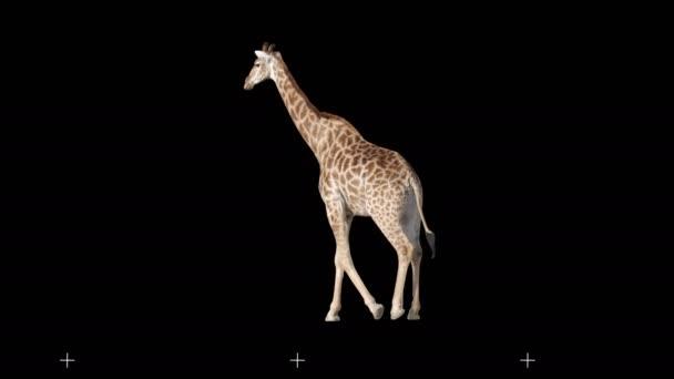 Africká žirafa, pomalu se sunula na černou obrazovku, skutečná střela, izolovaná na alfa kanálu předvynásobené černou a bílou matnou, perfektní pro digitální složení, kino, 3D mapování.