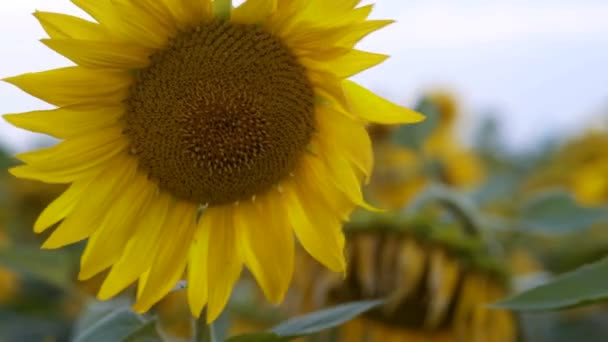 Detail, větrné poryvy jízda mladých slunečnice roste na poli