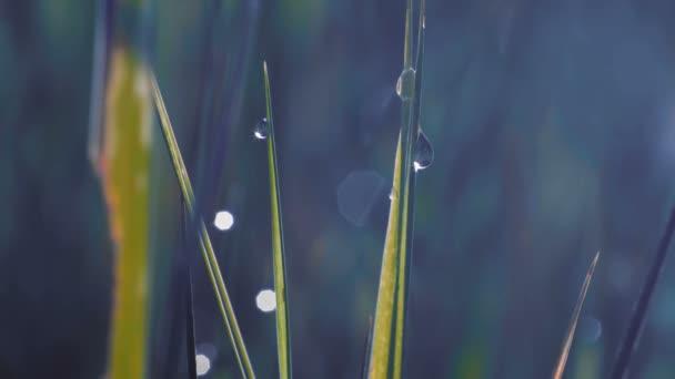 Detail, makro kapky na trávě