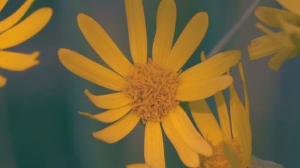 Detail, makro žluté květy houpat ve větru na mýtině v lese