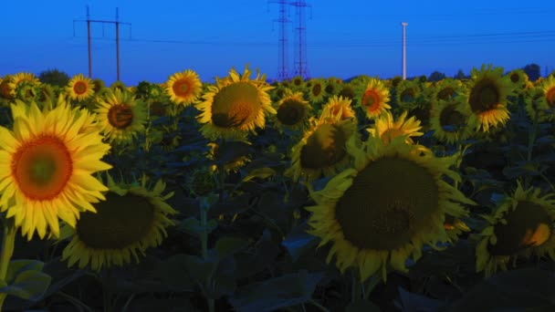 Sunflowers Growing on the Field in the Background of Power Lines Illuminated by the Rising Sun