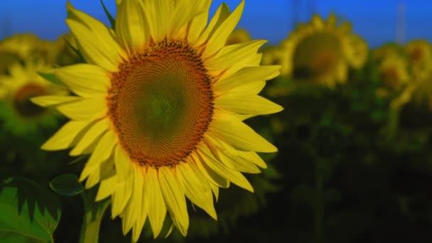 Slunečnice rostoucí na poli osvětleném rostoucím sluncem