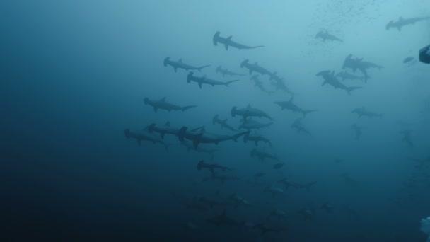massiver Schwarm von Hammerhaien, Indonesien