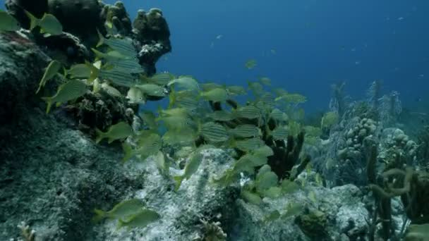 Schooling fishes in tropical coral reef landscape, Caribbean Sea, Bonaire