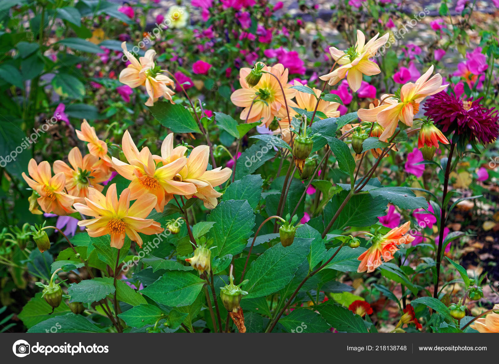 Image De Parterre De Fleurs fleurs automne colorés sur parterre fleurs dans parc