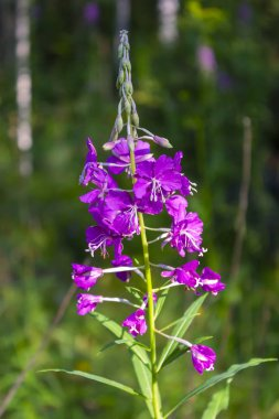 Pink flowers of fireweed in bloom on blurred background close up in summer time.