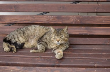 cute and beautiful big tabby cat resting on a street bench