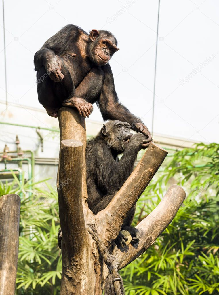 One chimpanzee eats, and the other takes away her food.