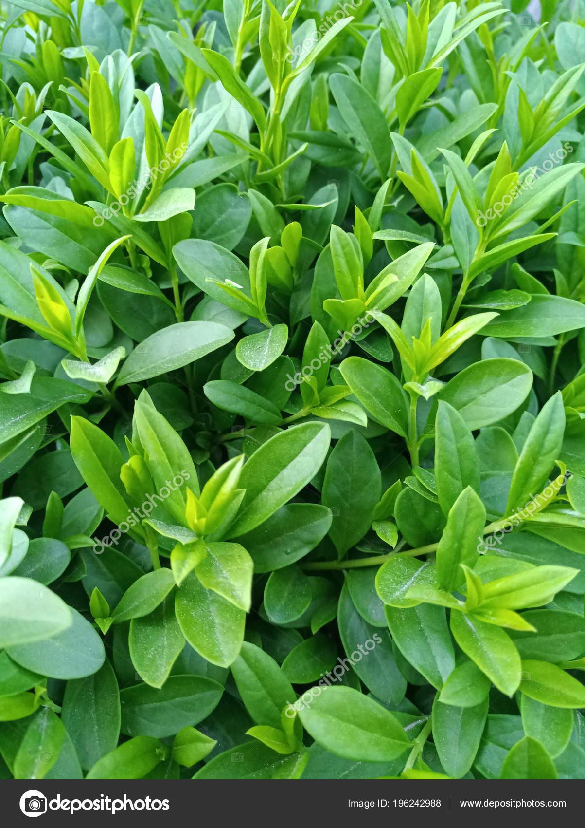Bright Green Leafy Bush Stock Photo Image By C Julia0501 196242988