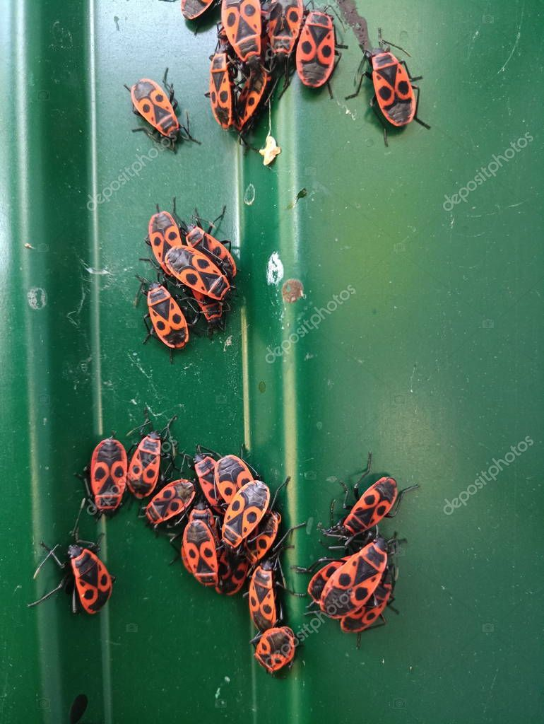 a flock of red beetles on a green fence
