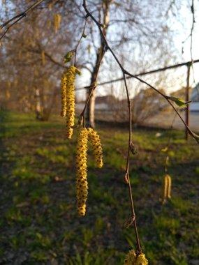 Beautiful green birch tree buds