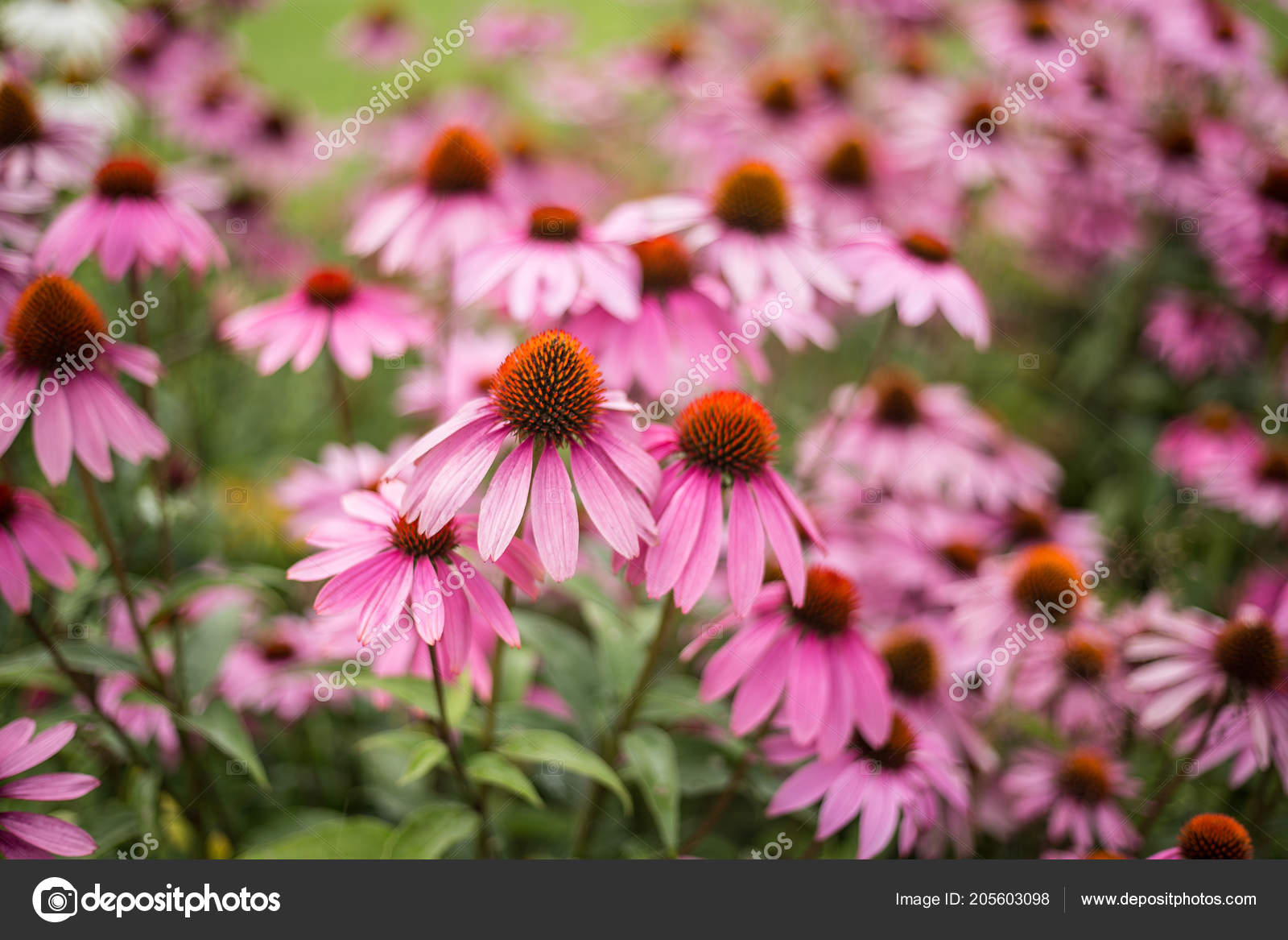 Pink flowers close beautiful bright flowers flower bed stock photo pink flowers close beautiful bright flowers flower bed stock photo izmirmasajfo