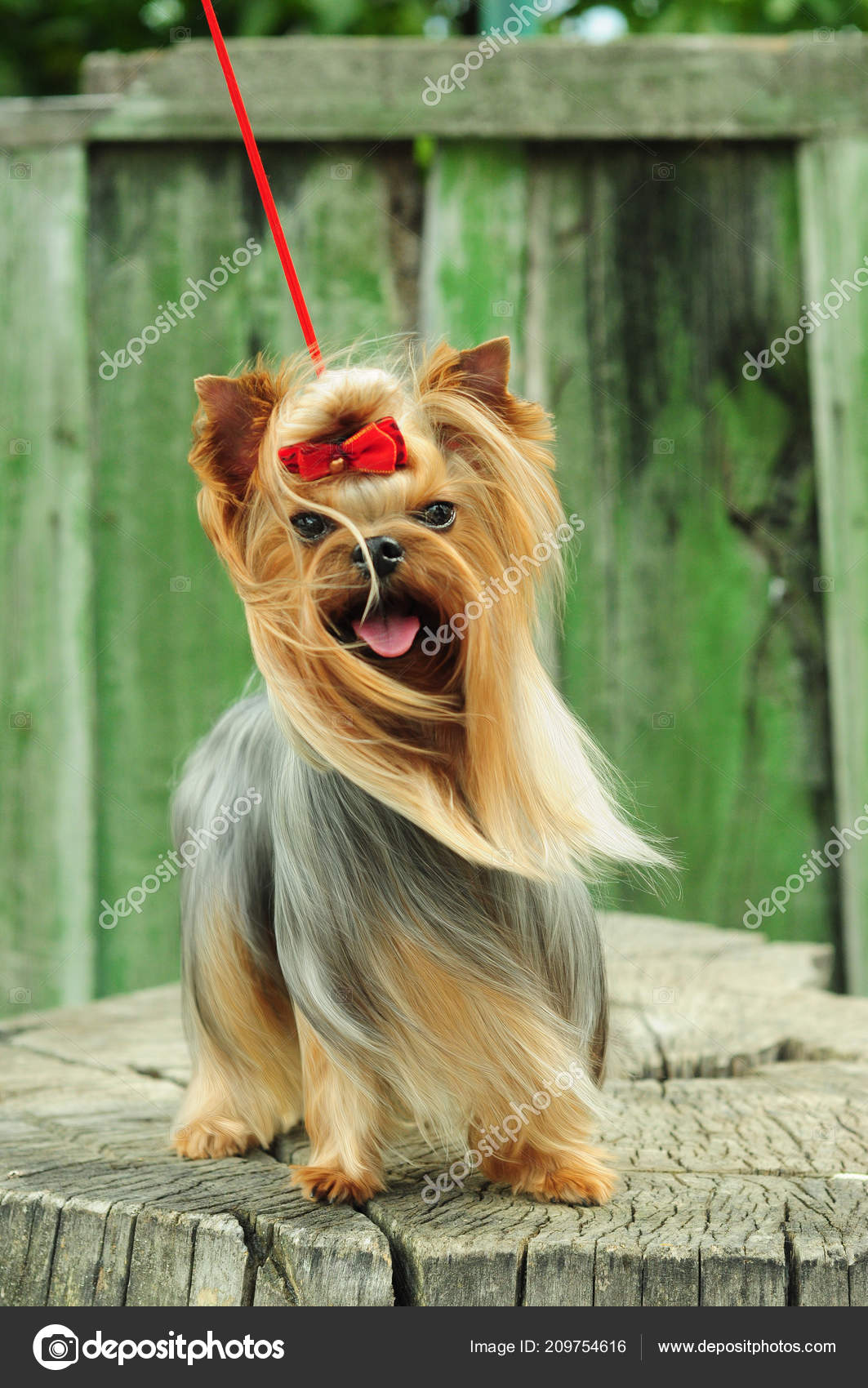 Pics Yorkie Dog Beautiful Yorkshire Terrier Stump Dog