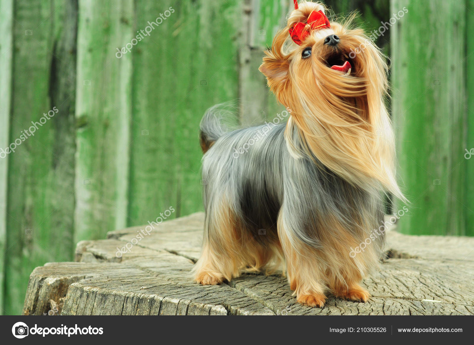 Longhair Yorkshire Terrier Space Text Miniature Dog Walk Stock
