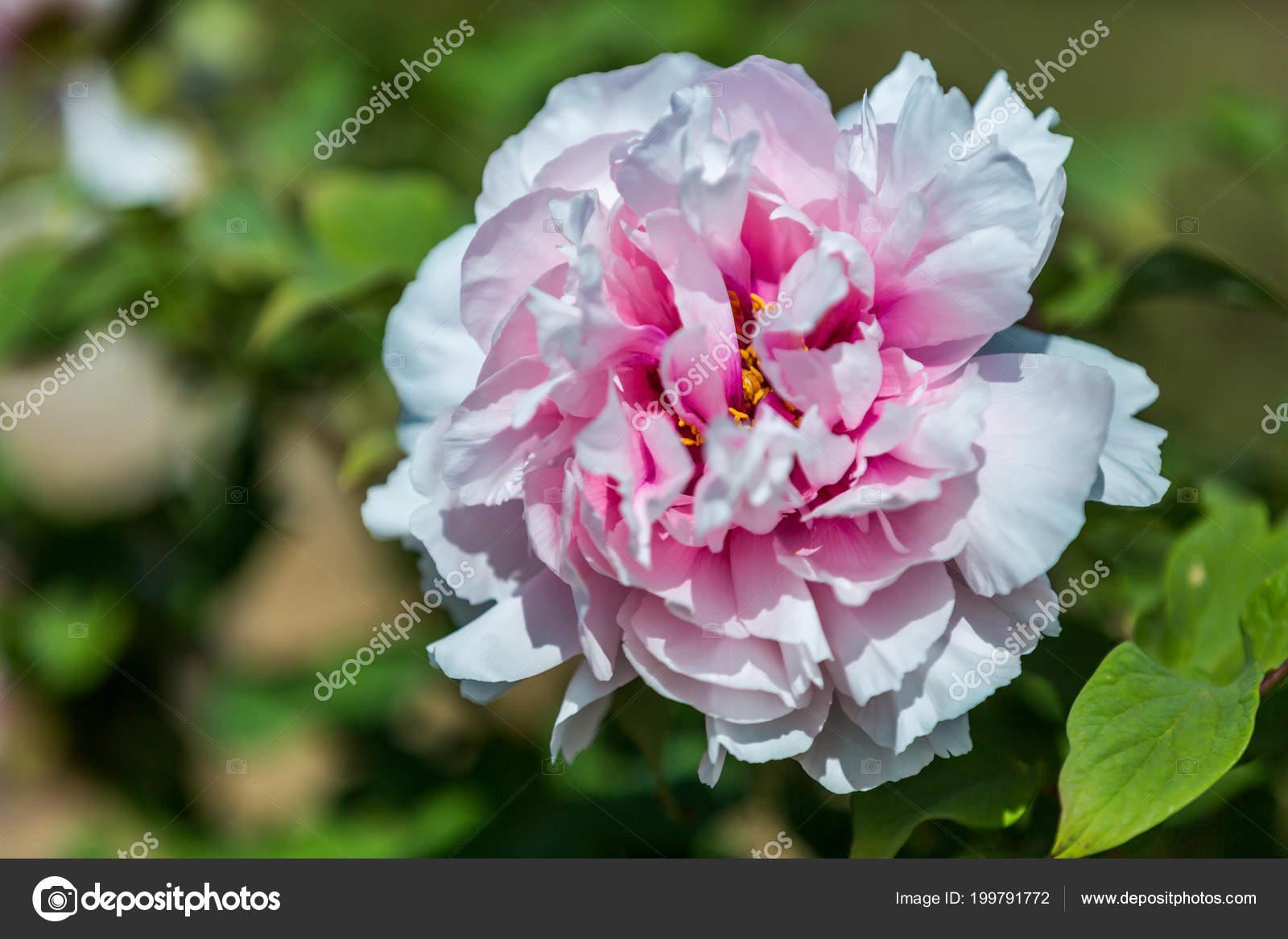 Beautiful flowers peonies bouquet pink peony background stock beautiful flowers peonies bouquet pink peony background stock photo izmirmasajfo