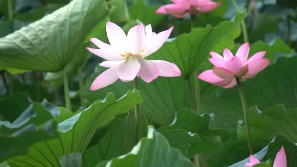Růžový lotos a listy v souboru Win.ini