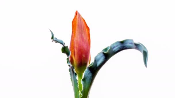 Kvetoucí divoký šedý tulipán na bílém pozadí