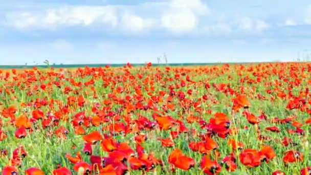 field of flowering poppies in May