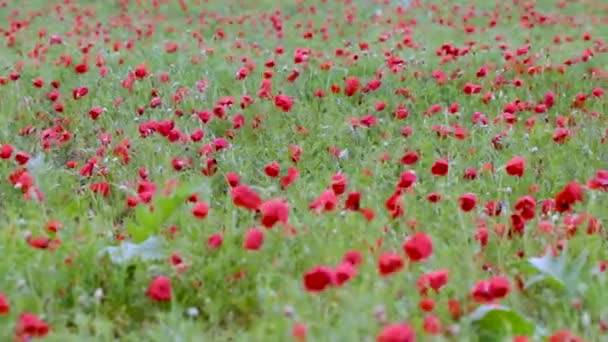 Blooming poppy field after the rain
