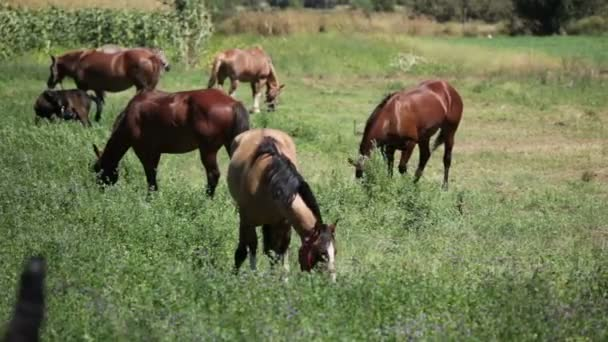 Koně pasoucí se jíst v poli