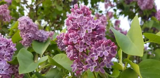 die Zweige eines Flieders im Frühlingsgarten wiegen sich leicht im Wind, Nahaufnahme