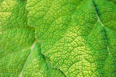 fleshy leaves burdock macro photo for background.