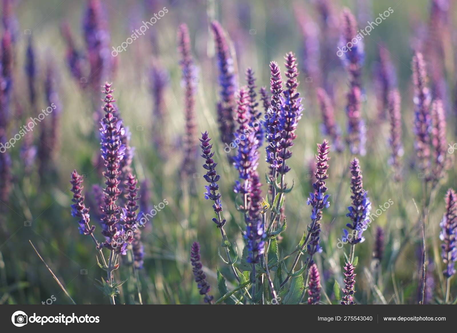 Lavender At Sunset Field Of Purple Flowers Stock Photo C Sonymoon 275543040